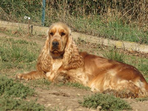 dd cocker spaniels and golden retrievers chien elevage of caniland s eleveur de chiens