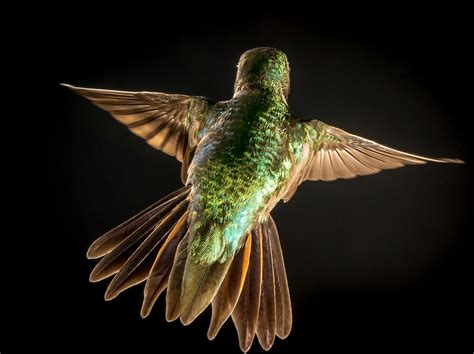 broad tailed hummingbird audubon field guide