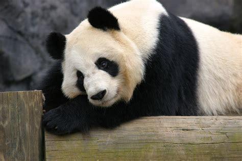 www panda panda zoo atlanta