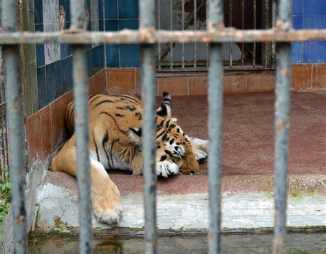 tigre in gabbia zoo di napoli lav e aperto senza licenza crudiezine
