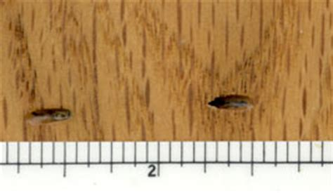powderpost beetle and woodworm damage in wood floors