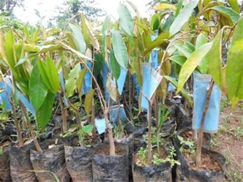 Bibit Durian Musang King Bersertifikat centra bibit duren sitokong hortikultura bersertifikat