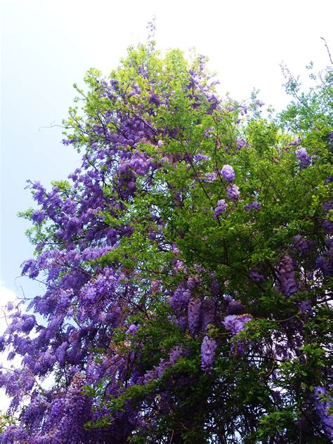 wisteria meaning the meaning of wisteria the accidental peach