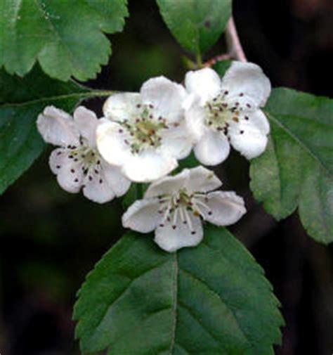imagenes espino blanco plantas medicinales especies y propiedades espino blanco