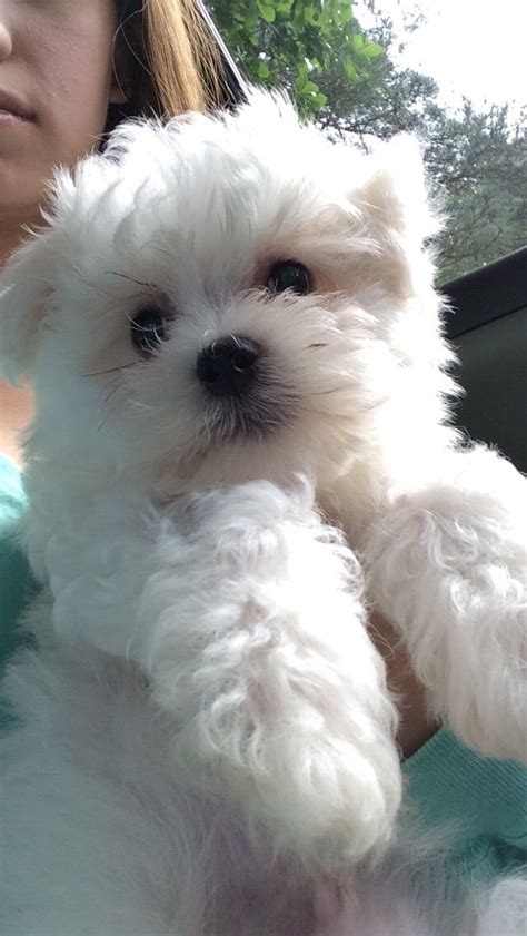 maltese puppy names 608 best i maltese images on maltese puppies baby animals and dogs