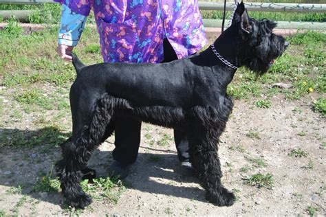 Schnauzer Hair Type by Males Getting Haircuts Newhairstylesformen2014