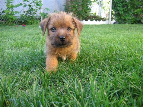 norfolk terrier puppies 17 best images about norfolk terrier puppies on warm toys and dive in