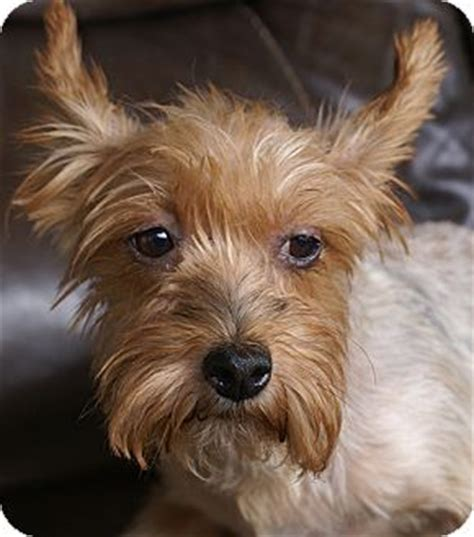 yorkie puppies for adoption in pa allentown pa yorkie terrier mix meet maxy a for adoption