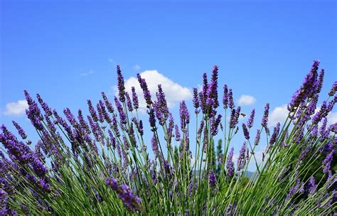 piante aromatiche in giardino coltivare le piante aromatiche in giardino sono
