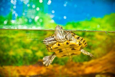 vasche per tartarughe d acqua tartarughe acquatiche tutto su accessori e vasche per