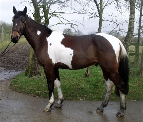 horses for sale uk horses for sale choice dressage suffolk