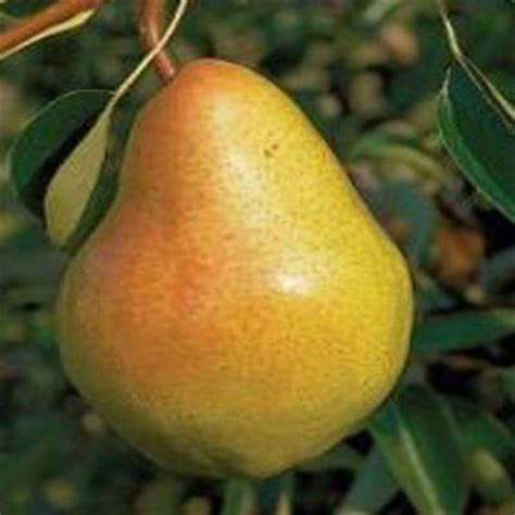 onlineplantcenter 5 gal bartlett pear fruit tree