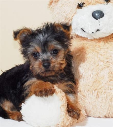 teacup yorkie indiana lovely tea cup yorkie puppies for free adoption in south bend michiana indiana gun