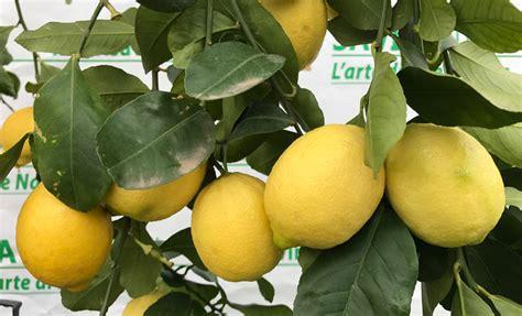 potare limone in vaso quando si potano i limoni in vaso