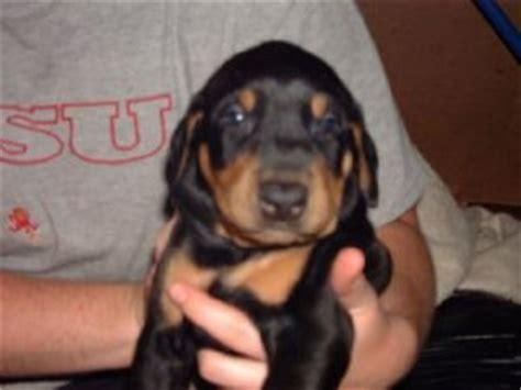 doberman puppies az doberman pinscher puppies in arizona