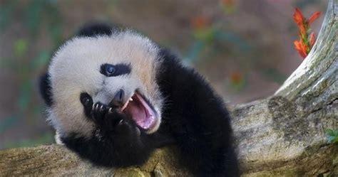 Selimut Bonita Panda No 1 fotos bonitas y fotos tiernas panda sonriendo