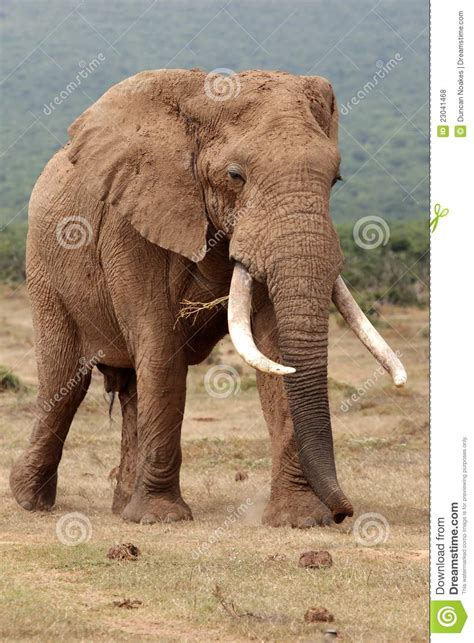 bull elephant gallery shoor travel elephant bull stock photo image of grey
