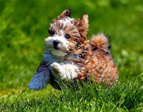cuban names for havanese dogs the havanese a cuban velcro