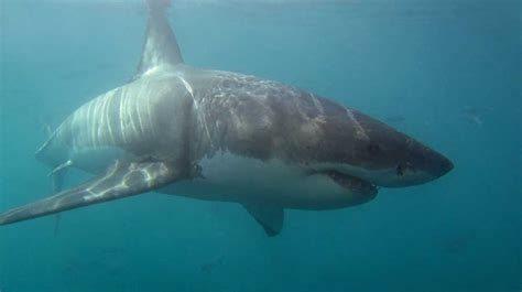 dive with sharks in south africa fly fighter jets more great white shark diving weekend south africa diving