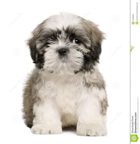 9 week shih tzu shih tzu puppy 9 weeks sitting stock image image of looking 12485601