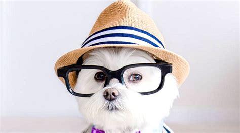 adorable dog  loves  wear glasses  viral