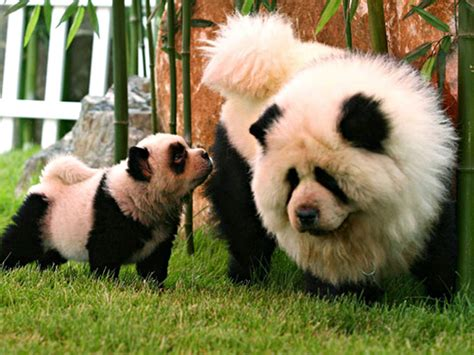 panda chow chow puppies panda chow chow dogs 100 real the amazing nature pinter
