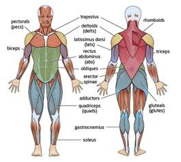 major muscles groups