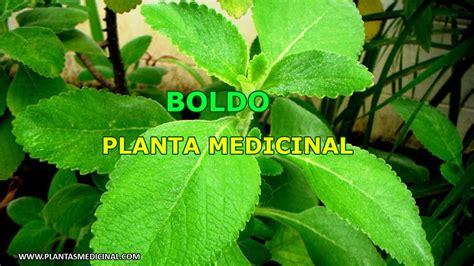 boldo propiedades y beneficios medicinales youtube boldo propiedades y beneficios medicinales youtube boldo