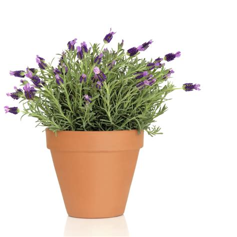 grow l for plants potted lavender care how to grow lavender in containers