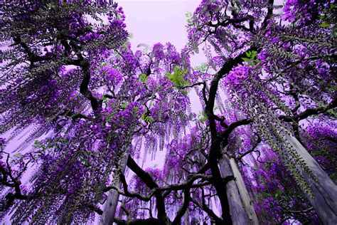 wisteria in japan spring in japan wonderful wisteria billions of