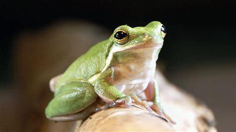 loewenzaehnchen frosch zdftivi