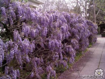 blauwe regen uitlopen meest voorkomende bloeiende klimplanten in mei bloeiende