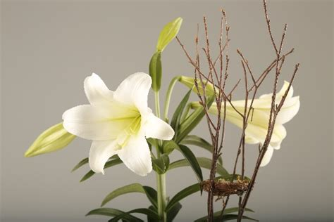 easter lilies how to care for gift plants after the