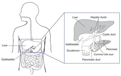 diagram of bile duct system diagram of liver and bile ducts image collections how to