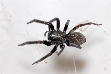 Spiders In House by File Black House Spider Jpg Wikimedia Commons