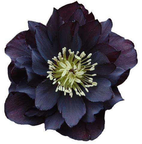 imagenes png de flores marcos gratis para fotos flores png buena calidad