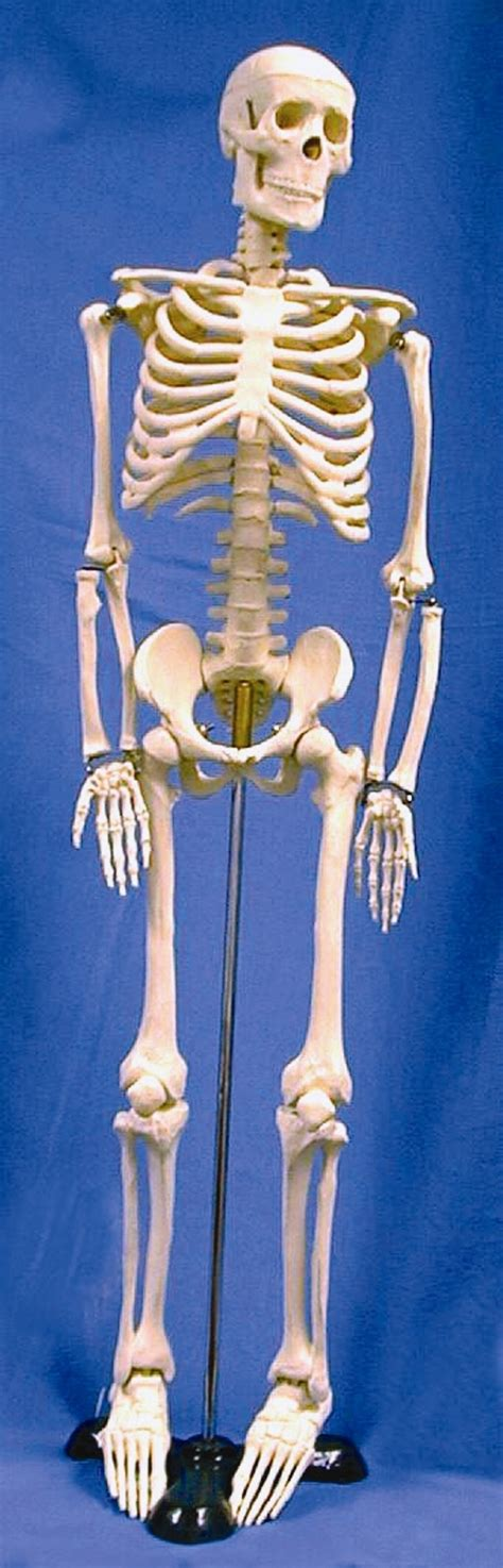 best 25 human skeleton bones ideas only on skeleton anatomy labelled 25 best ideas about human skeleton model on skeleton model bones and human