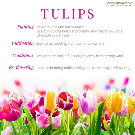 facts about flowers history facts and meaning of tulips pollennation