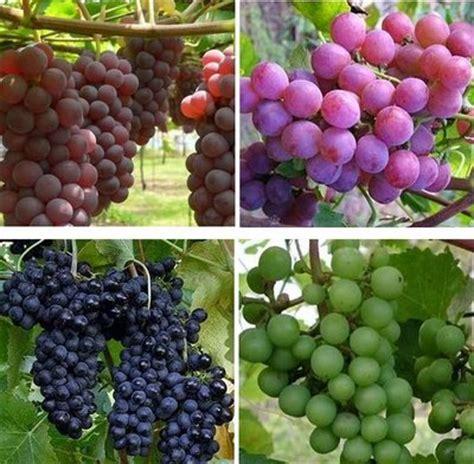 2 Biji Benih Buah Anggur Mix 2 Warna biojojo anggur