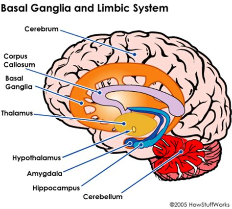 basal ganglia | medical school lecture notes – trusted