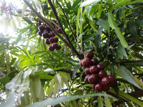 Benih Bibit Biji Buah Black Currant Fruit Seeds Import kebun bahagia bersama buah buahan