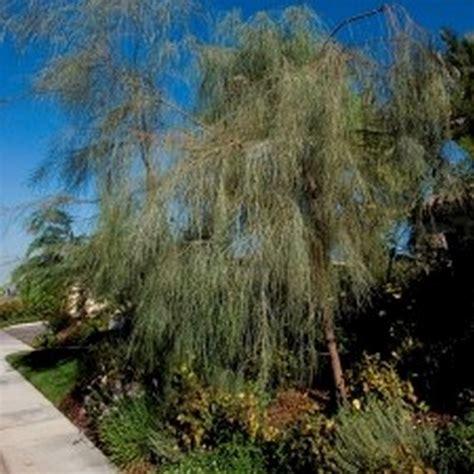 shoestring acacia tree