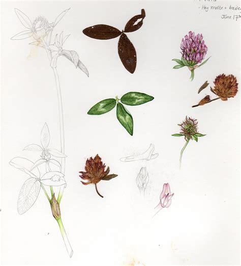 sketchbook clover news 187 botanical illustration of clover step by step