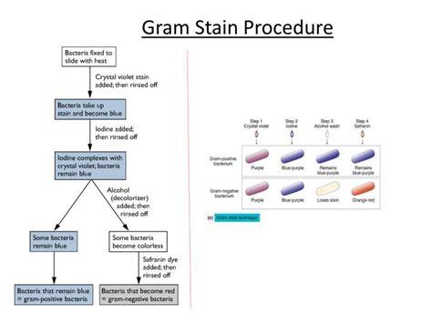 gram staining procedure in flowchart ppt microscopy powerpoint presentation id 2620783