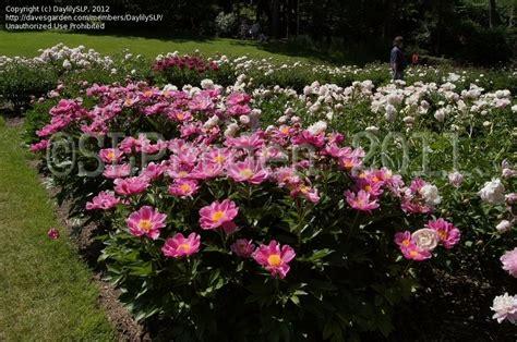 Garden Arbor Michigan Plantfiles Pictures Peony Garden Peony L