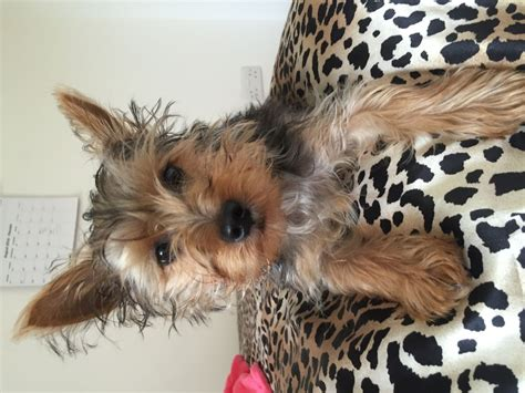 small yorkies for sale uk small yorkie puppy for sale west malling kent pets4homes