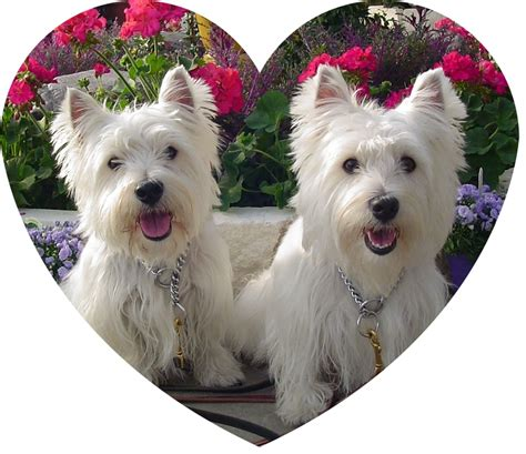 westie dogs dogs 187 archive 187 toys for westies blogs on dogs