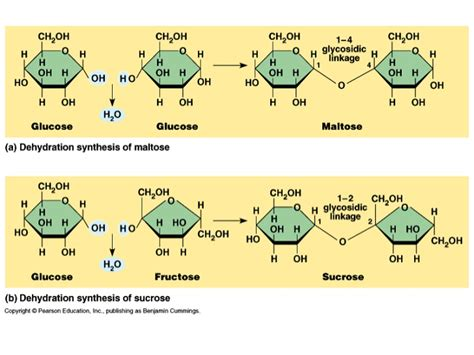 hydration synthesis biology chp 2 hydrolysis and dehydration synthesis