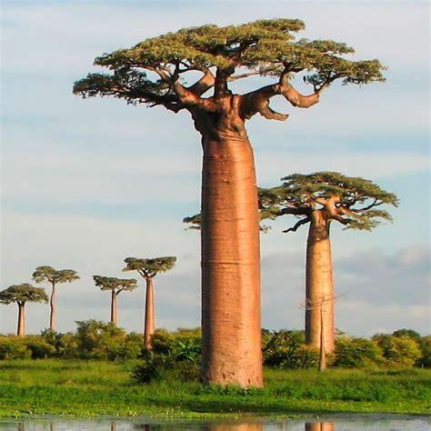 aprende todo sobre el fantastico baobab  sus variedades