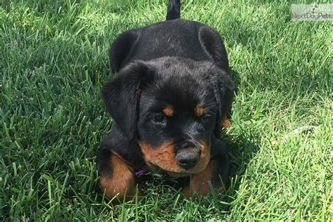 rottweiler puppies for sale in new mexico rottweiler puppy for sale near albuquerque new mexico f51e615d 8b71
